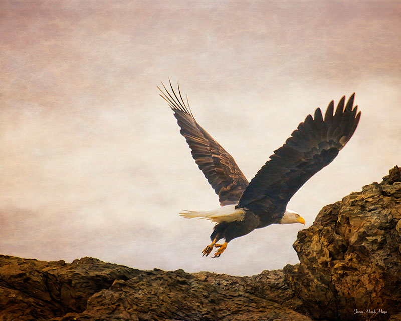 Bald Eagle Flyby Mayas Images