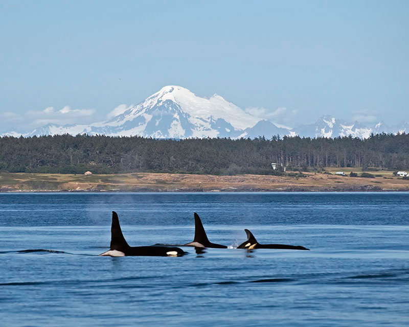 Orcas Heading South Mayas Images