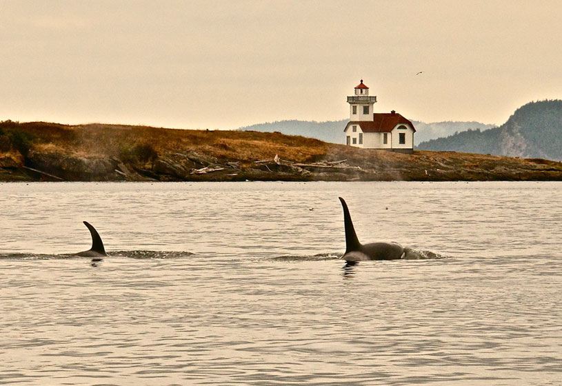 Orcas With Lighthouse Mayas Images