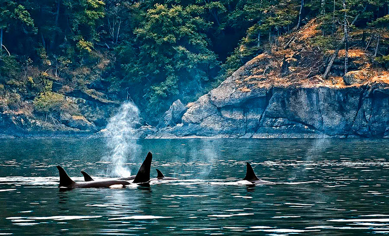 Orcas On The Westside Mayas Images